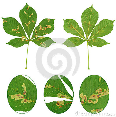 Leaf of chestnut tree attacked by horse-chestnut leaf miner, Cameraria ohridella