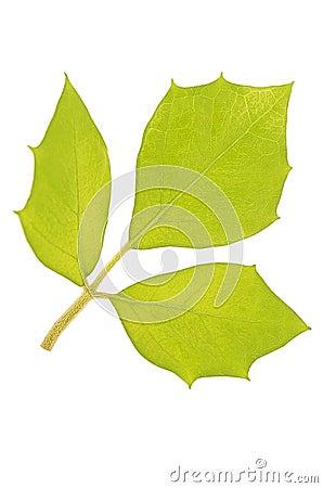 Leaf cissus