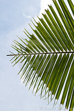 Leaf Of Coconut Palm Tree Royalty Free Stock Photos - Image: 18521098