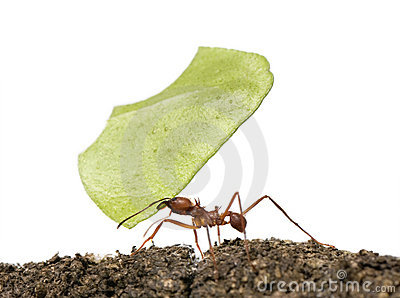 Leaf-cutter ant, Acromyrmex octospinosus