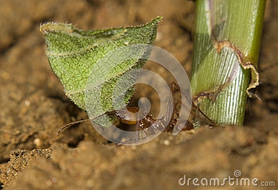 Leaf cutter ant with leaf