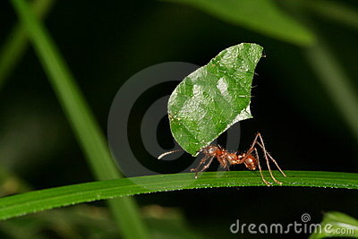 Leaf-cutting ant