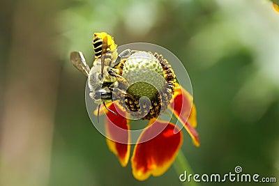 Leaf Cutting Bee