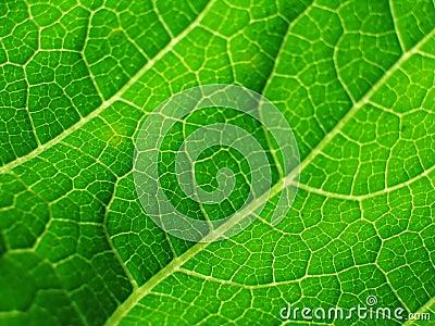 Leaf of cymbling in