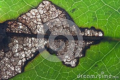 Leaf disease