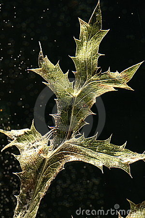 Leaf of dried thistle