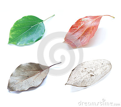 Leaf evolution