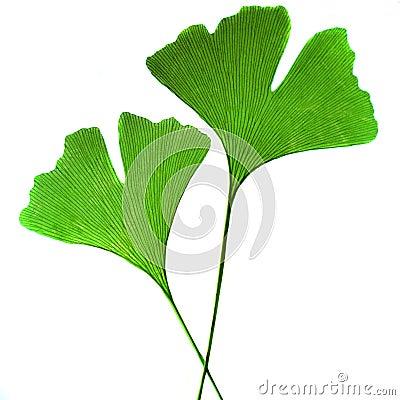 Leaf ginkgo bilobaz