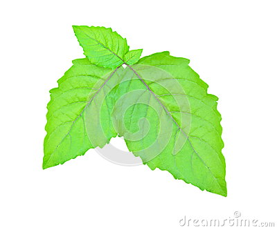 Leaf Hairy Basil.
