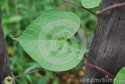 Leaf of haricot