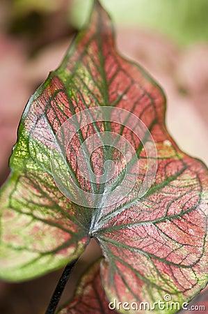 Leaf (Heart of Jesus)