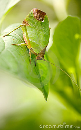 Free Leaf Katydid Stock Photo - 13895520