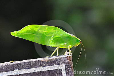 Leaf Like Bug