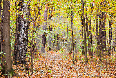 Leaf litter path in autumn forest