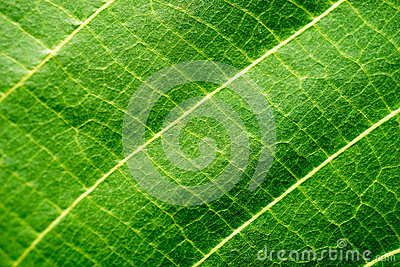 Leaf Macro Shot