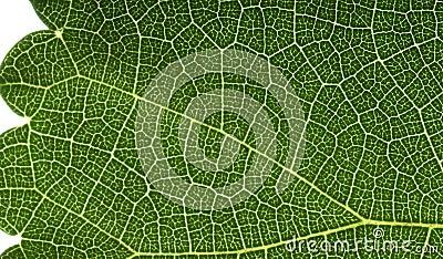 Leaf macro view