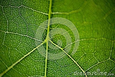 Leaf macro2