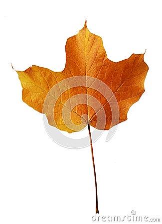Leaf Maple