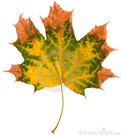 Leaf of maple isolated
