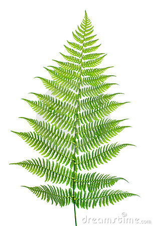 Free Leaf Of A Fern On A White Stock Photography - 3072072