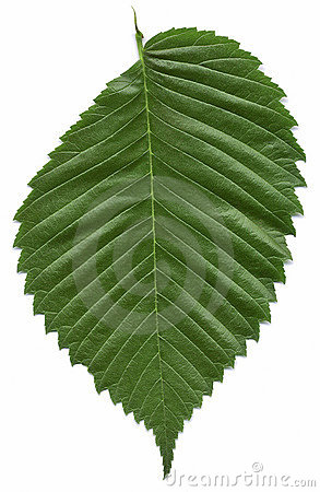 Free Leaf Of The American Elm Tree Royalty Free Stock Image - 189616