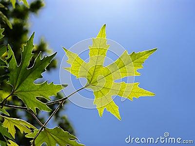 Leaf of plane tree