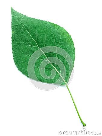 A Leaf of a Poplar Tree