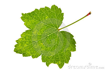 Leaf red currant