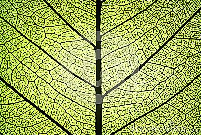 Leaf ribs and veins