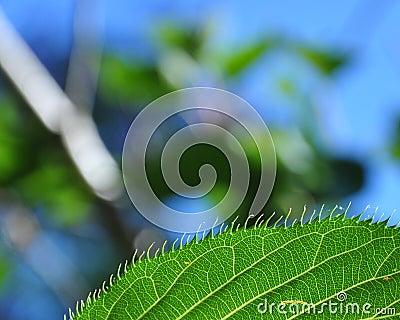 Leaf s edge