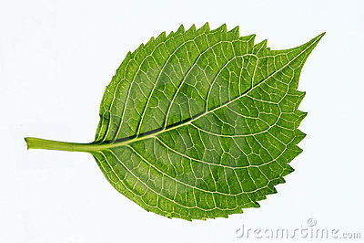 Leaf s veins