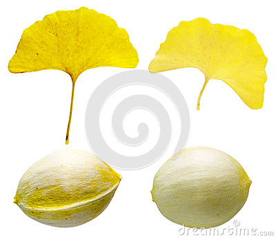 The leaf and seed of ginkgo