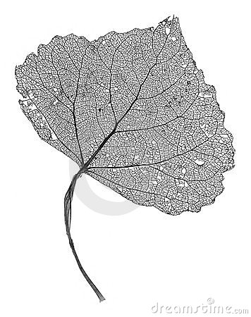 Free Leaf Skeleton Royalty Free Stock Photography - 28147