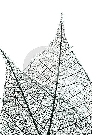 Free Leaf Skeleton Royalty Free Stock Image - 6258846