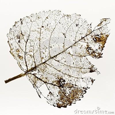 Free Leaf Skeleton Royalty Free Stock Photos - 72616228
