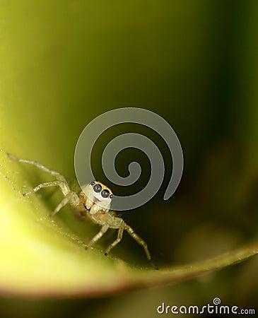 Leaf Spider
