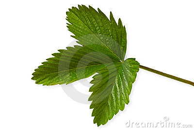 Leaf of strawberry