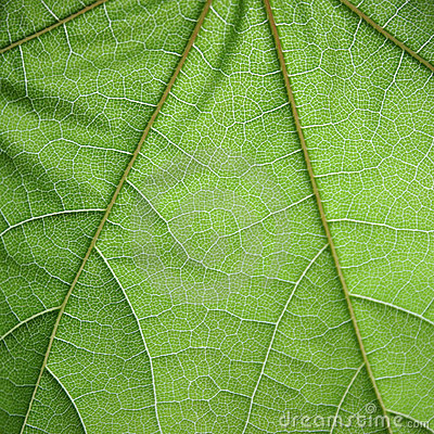 Free Leaf Structure Royalty Free Stock Images - 133069