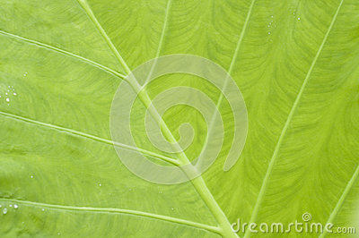 Leaf of taro