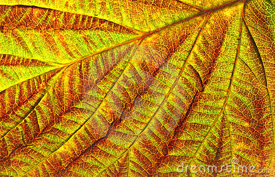 Leaf texture of currant