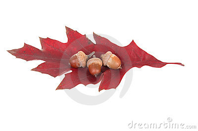 Leaf and three acorns