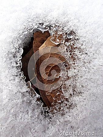 Leaf under snow