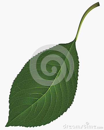 Leaf. Vector illustration
