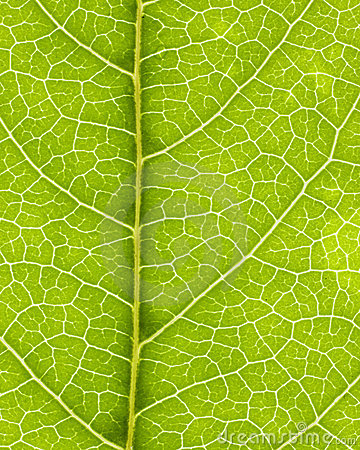 Leaf vein 02
