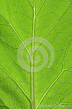 Free Leaf Veins Royalty Free Stock Image - 26865416
