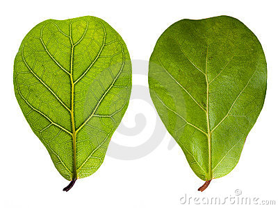 Leaf with veins and normal leaf