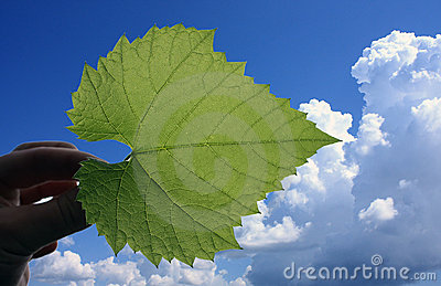 Leaf of vine on the blue sky