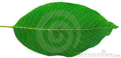 Leaf of walnut
