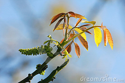 Leaf of walnut tree