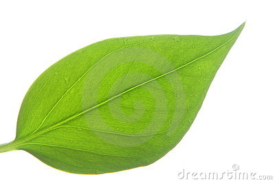 Leaf on white